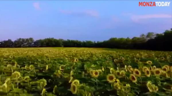"""Il """"mar giallo"""" di Busnago: ecco le spettacolari immagini col drone del mega campo di girasoli"""
