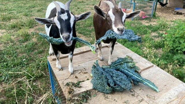 """They steal two dwarf goats, the desperate appeal of the owner: """"Help us find them"""" thumbnail"""