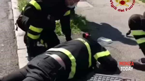 Piccoli anatroccoli bloccati in un tombino in strada salvati dai vigili del fuoco